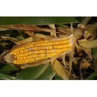 Фузариоз, головня и гниль кукурузы – как бороться?