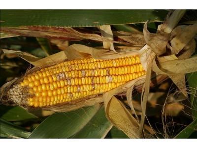 Болезни кукурузы и меры борьбы с ними