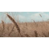 Внекорневая подкормка пшеницы. Как правильно проводить обработку.